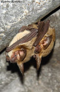 Image of Small Big-eared Brown Bat
