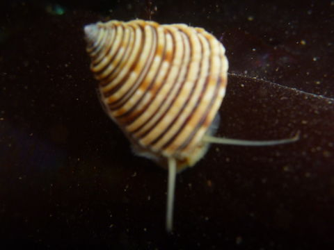 Image of channeled topsnail