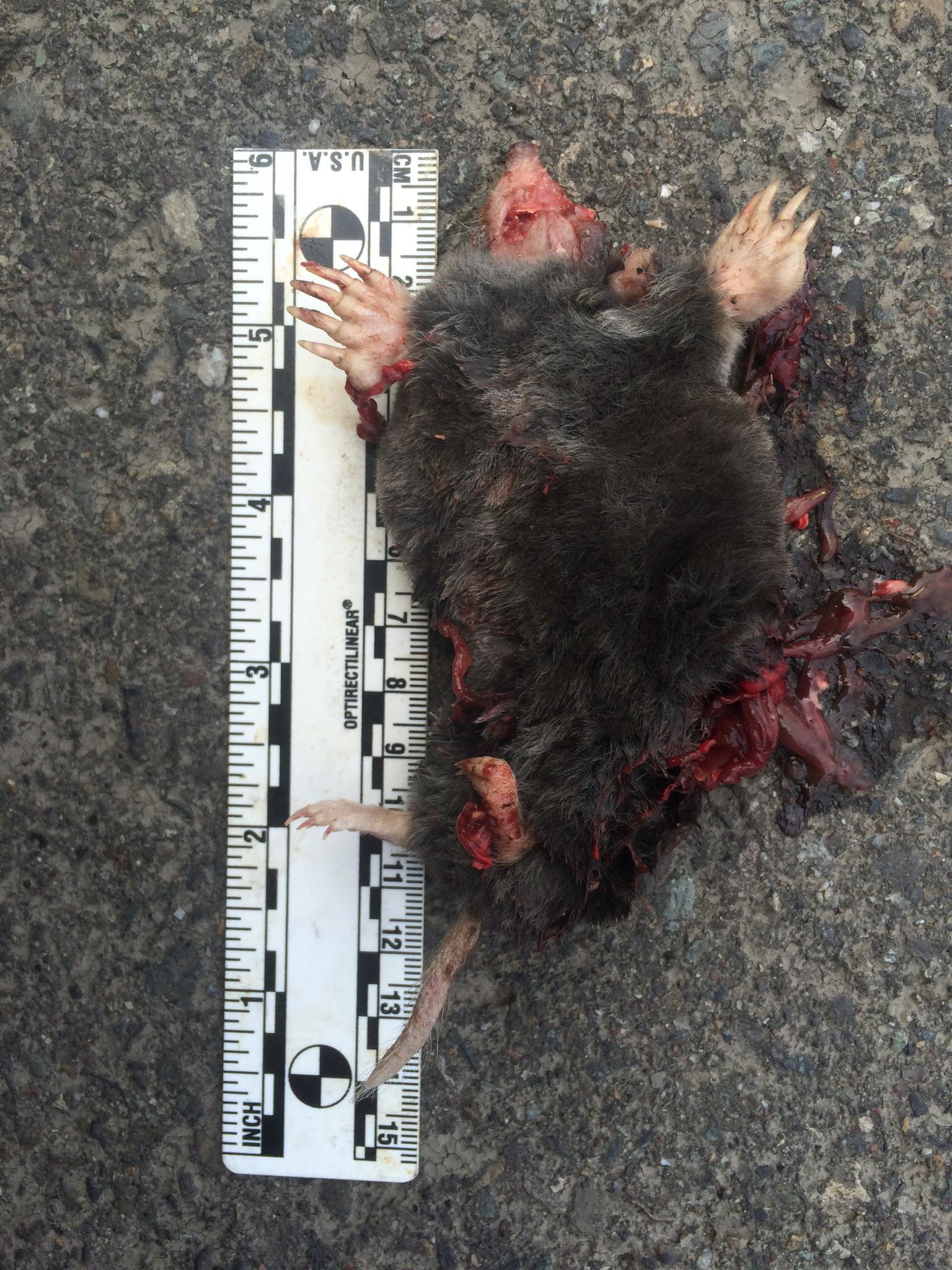 Image of Coast Mole