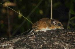 Image of <i>Peromyscus yucatanicus badius</i>