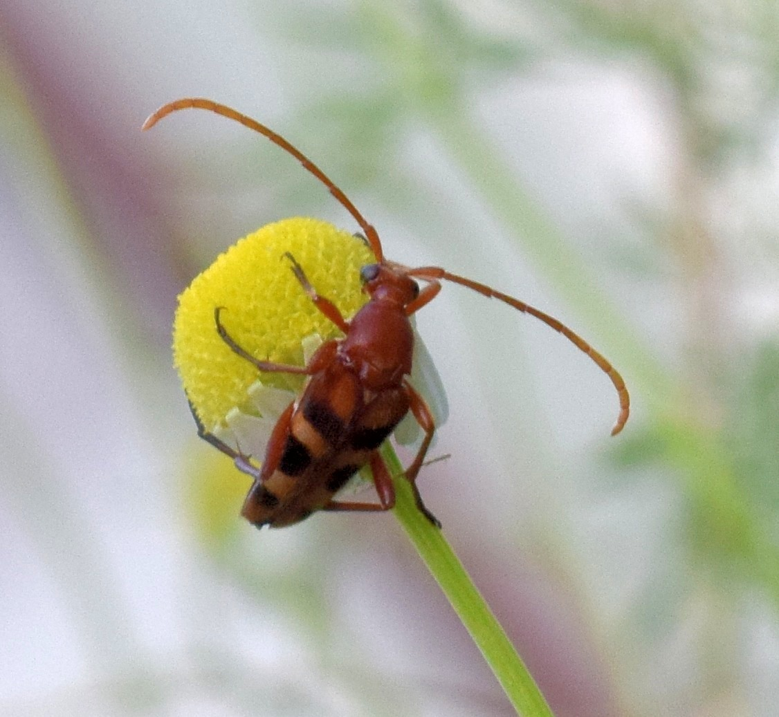 Image of Six-spotted Flower Strangalia