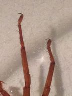 Image of <i>Gradungula sorenseni</i> Forster 1955