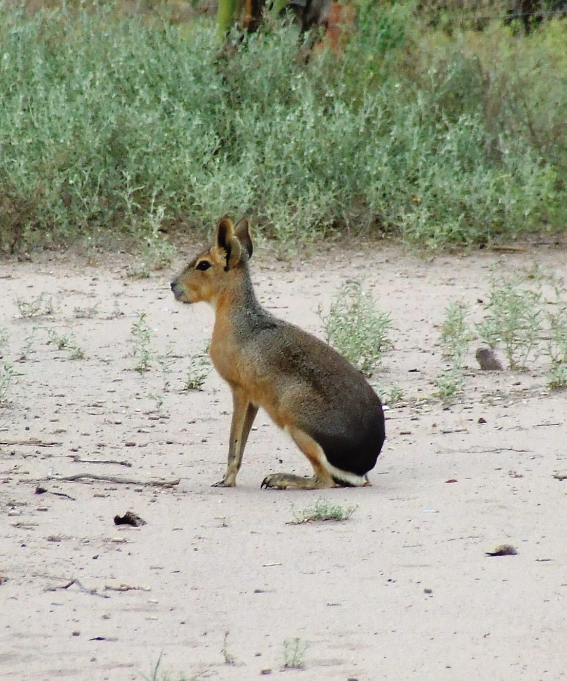 Image of Patagonian Cavy