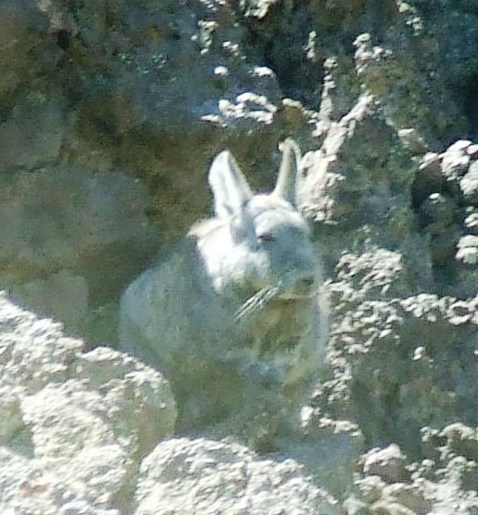 Image of Southern Mountain Viscacha
