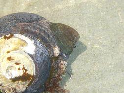 Image of black limpet