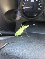 Image of Texas False Katydid