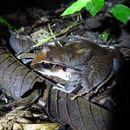 Image of Tilaran Robber Frog