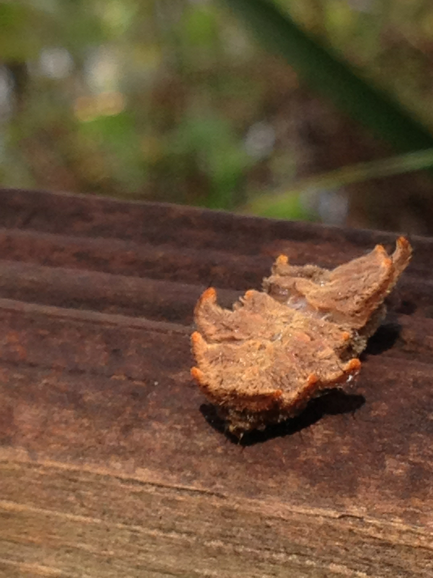 Image of Hag Moth