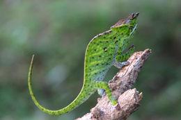 Image of Will's chameleon