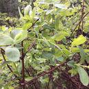 Image of <i>Lonicera caerulea</i>