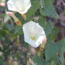 Image of <i>Calystegia occidentalis fulcrata</i>