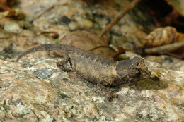 Image of <i>Brookesia brunoi</i> Crottini, Miralles, Glaw, Harris, Lima & Vences 2012
