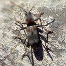 Image of <i>Chlorophorus aegyptiacus</i> (Fabricius 1775)