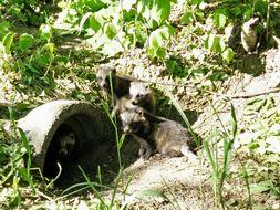 Image of Raccoon Dog