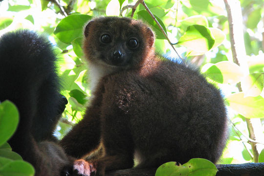 Image of Red-bellied Lemur