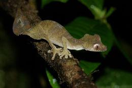 Image of Satanic Leaf-tailed Gecko