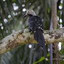 Image of White-crested Hornbill