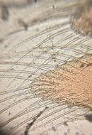 Image of <i>Artemia franciscana</i> Kellogg 1906
