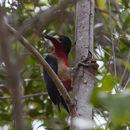 Image of Puerto Rican Woodpecker