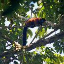 Image of Red Ruffed Lemur