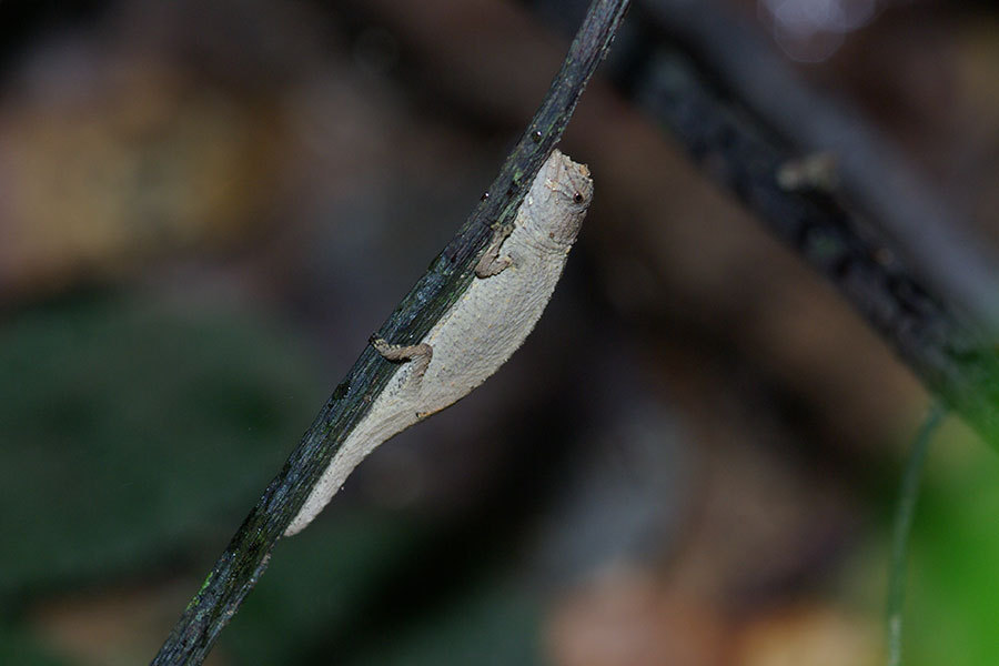 Image of Pygmy stump-tailed chameleon