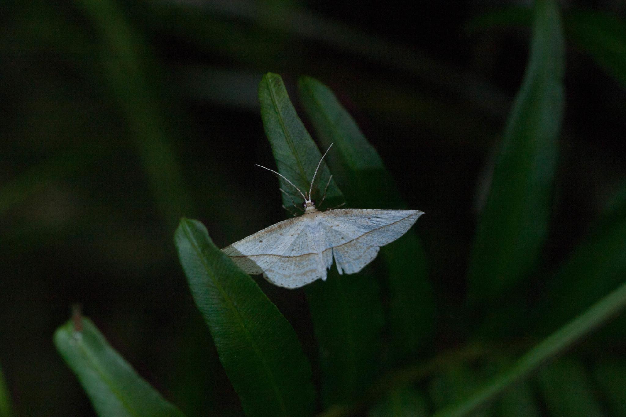 Image of <i>Heteralex unilinea</i> Swinhoe 1902