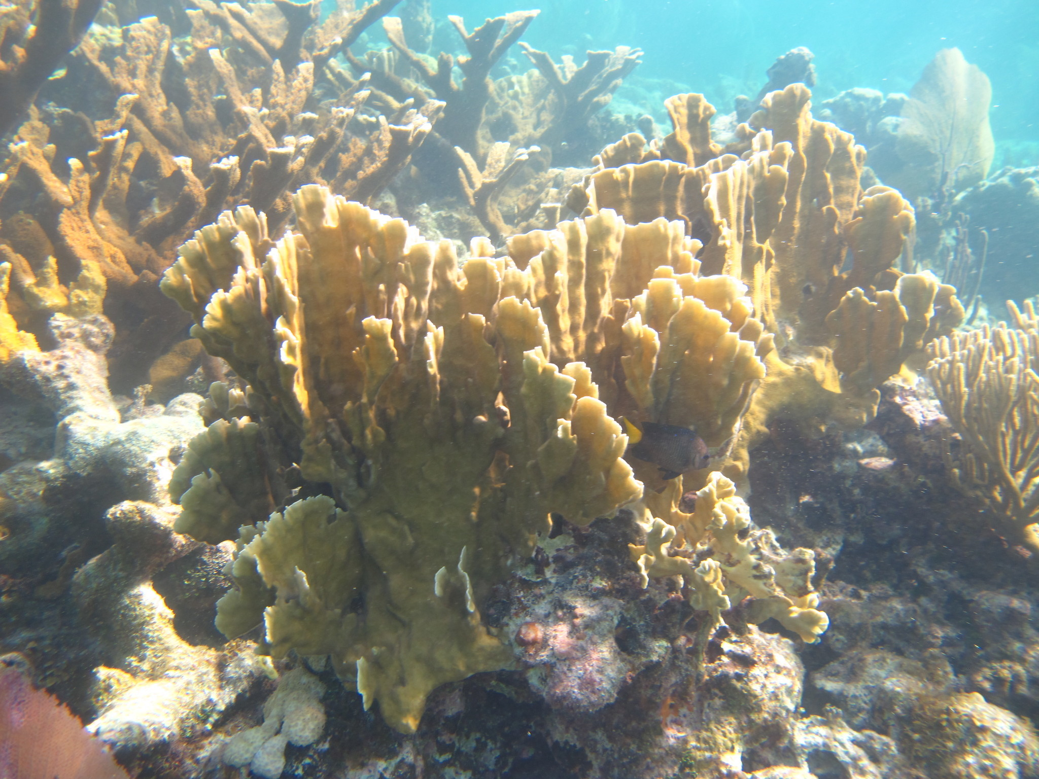Image of Fire coral
