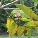 Image of <i>Physena madagascariensis</i>
