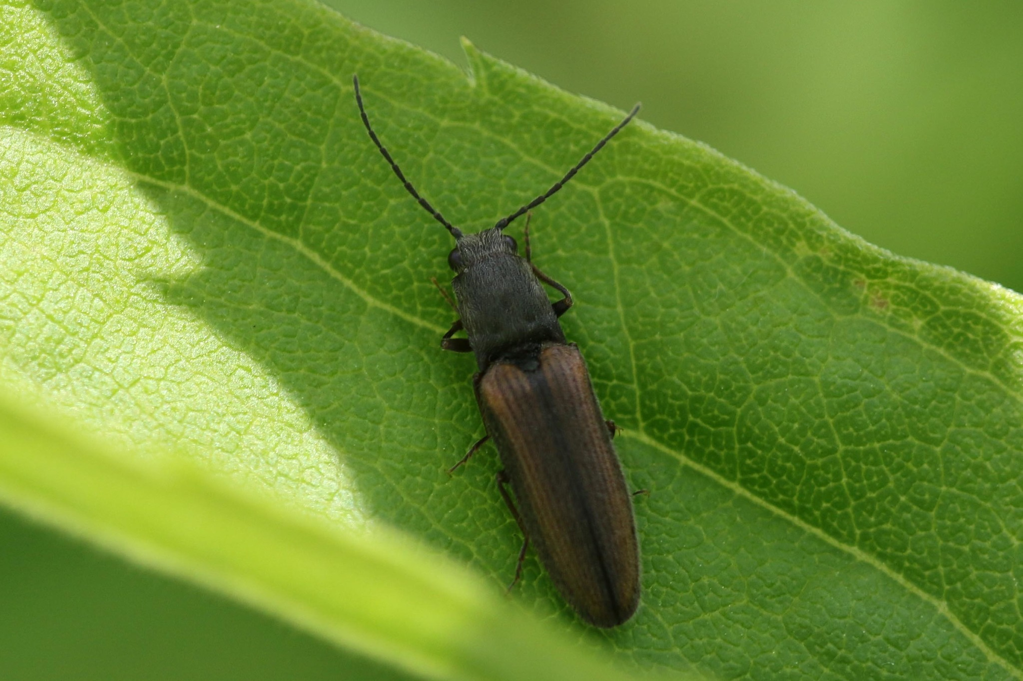 Image of <i>Athous bicolor</i>