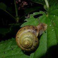 Image of brush snail