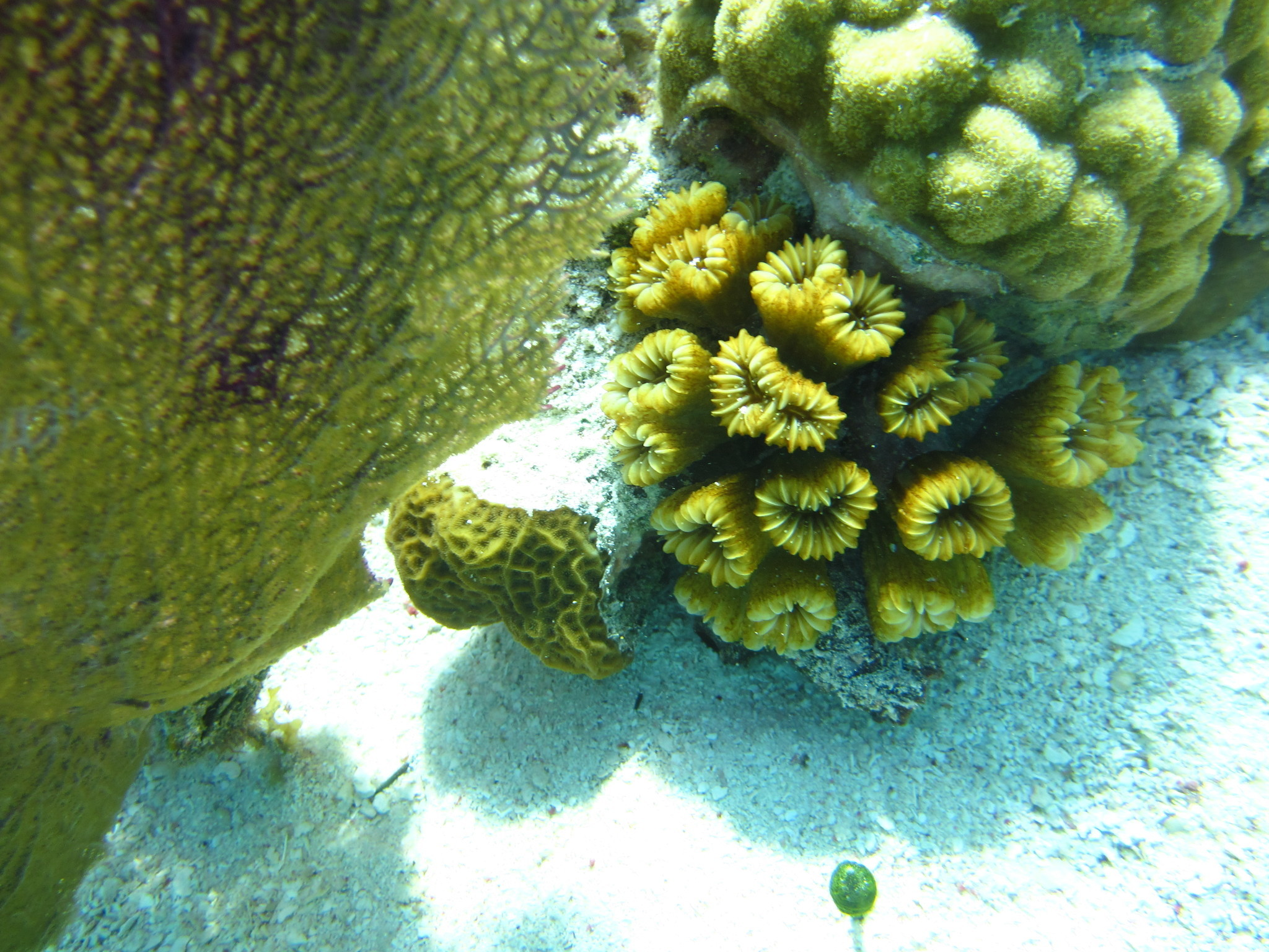 Image of Smooth Flower Coral