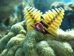Image of Christmas tree worm