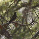 Image of Grey-winged Blackbird