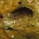Image of <i>Exosphaeroma gigas</i> (Leach 1818)