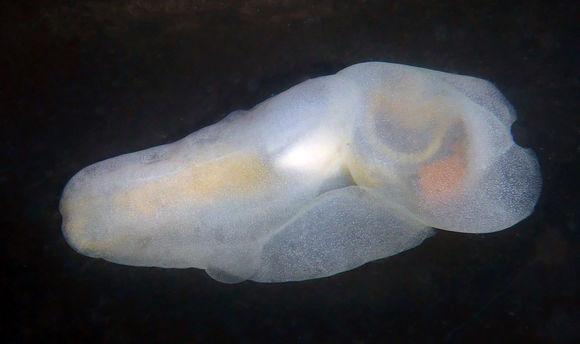Image of Sea snail