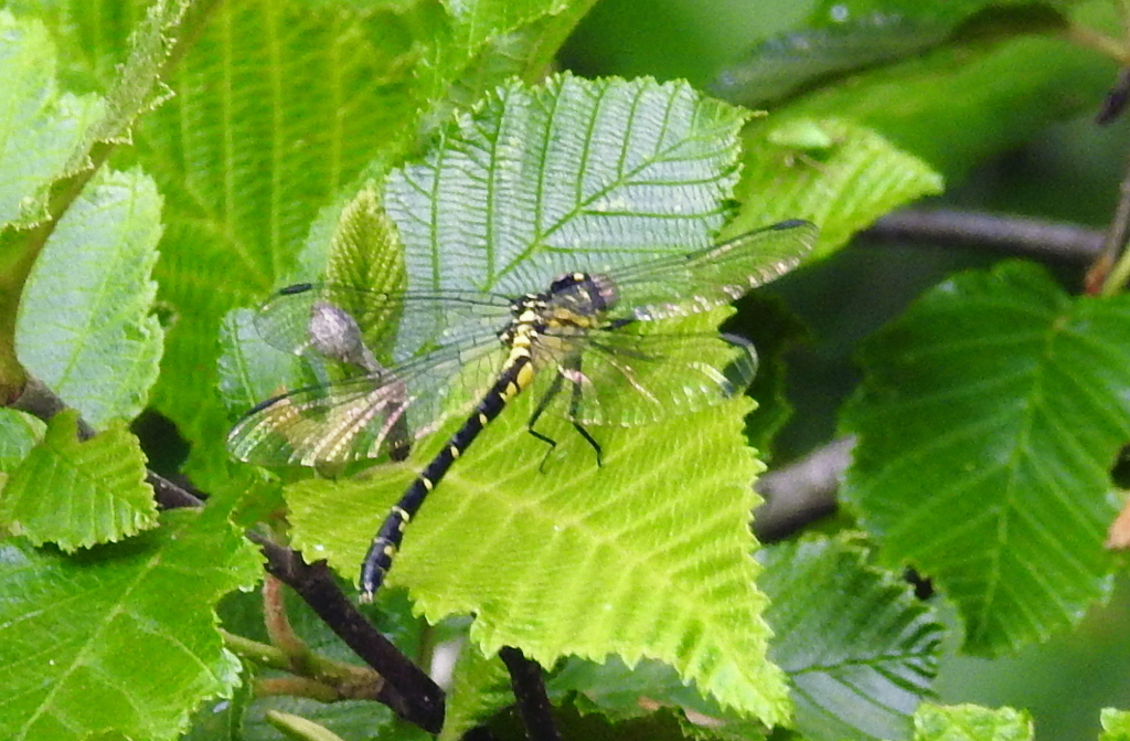 Image of Eastern Least Clubtail
