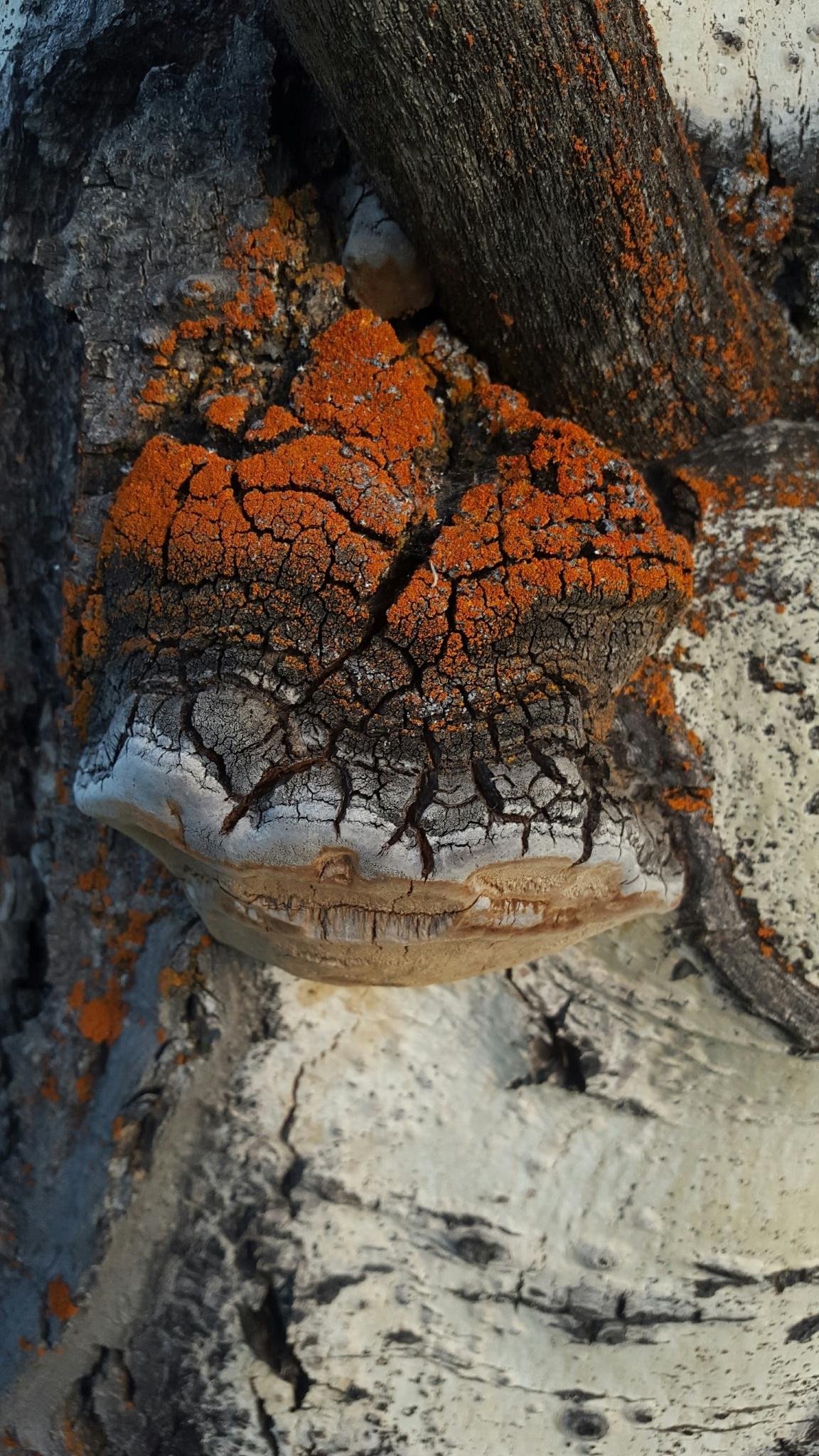 Image of <i>Phellinus tremulae</i>