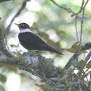 Image of White-collared Blackbird