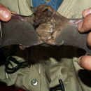 Image of Miller's Long-tongued Bat