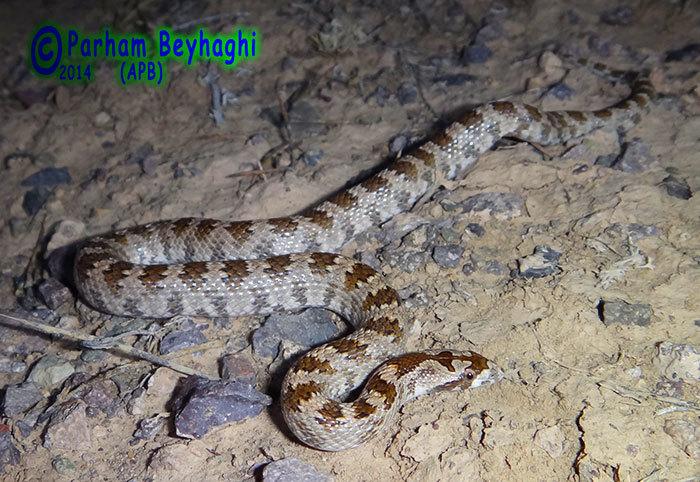 Image of Derafshi Snake