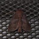 Image of <i>Griseothosea fasciata</i>