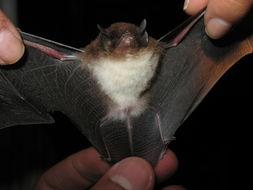 Image of Spix's disk-winged bat