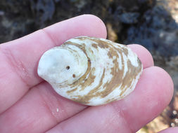 Image of western white slippersnail