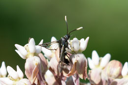 Image of Ironweed Clearwing moth