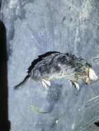 Image of Hairy-tailed Mole