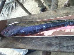 Image of Longtail knifefish