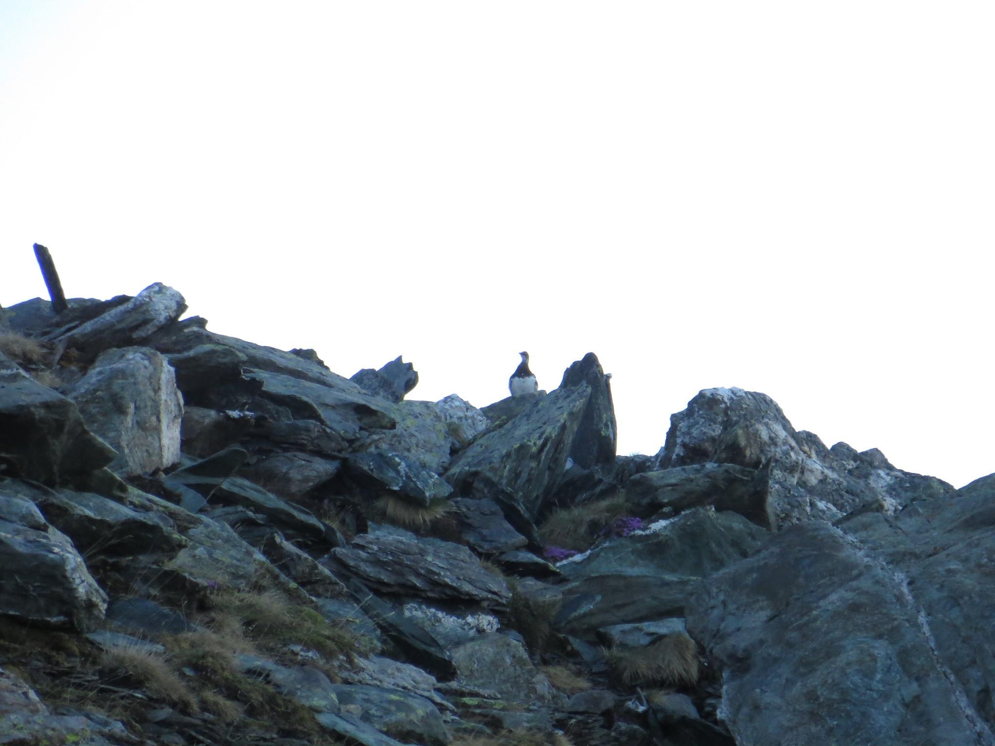 Image of Rock ptarmigan