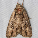 Image of <i>Aseptis adnixa</i> Grote 1880