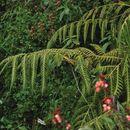 Image of <i>Woodwardia spinulosa</i>