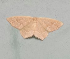 Image of Pistachio Emerald Moth